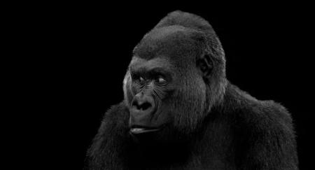 reggio-visitors-gorilla